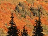 Blueberry Bushes with Fir Tree  Stevens Pass  Washington State  USA