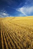 Farm Fields of Golden Harvest Wheat  Palouse Country  Washington  USA