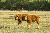 Wildlife  Bison Calves in Theodore Roosevelt National Park  North Dakota  USA