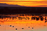 Waterfowl on Roost  Bosque Del Apache National Wildlife Refuge  New Mexico  USA