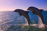 Dolphins Leaping from Sea  Roatan Island  Honduras