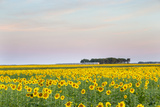 Amtrak Train Passes by Field of Sunflowers in Michigan  North Dakota  USA