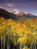 Aspen Tree  Snowcapped Mountain  San Juan National Forest  Colorado  USA