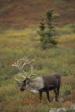 Bull Caribou Wildlife  Denali National Park  Alaska  USA