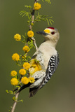 Golden-Fronted Woodpecker Bird  Male Perched in Native Habitat  South Texas  USA