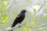 Red-Winged Blackbird  Juanita Bay Wetland  Washington  USA