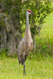 Sandhill Crane Bird  Everglades  Florida  USA