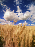 View of Wheat Field  Palouse  Washington State  USA