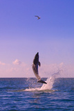 Dolphin Leaping from Sea  Roatan Island  Honduras