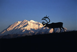Caribou Wildlife  Mt McKinley  Denali National Park and Preserve  Alaska  USA