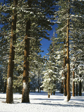 Jeffrey Pine Covered with Snow  Inyo National Forest  California  USA