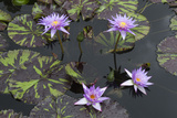 Lily Pond with Water Lilies  New Orleans Botanical Garden  New Orleans  Louisiana  USA