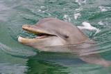 Dolphin in the Ocean  Roatan Island  Honduras
