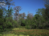 Corkscrew Swamp Sanctuary  Cypress Swamp  Nesting Wood with Storks  Florida  USA
