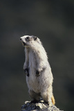 Marmot Wildlife  Denali National Park  Alaska  USA