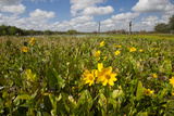 Wetland Sunflowers  Emergent Aquatic Flora  Brazos Bend State Park Marsh  Texas  USA