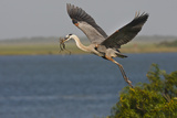 Great Blue Heron (Ardea Herodias) Bird Flying with Nest Material  Texas  USA