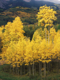 View of Autumn Aspen Grove on Mountain  Telluride  Colorado  USA