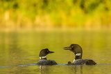 Breeding Pair of Common Loon Birds and Chick on Beaver Lake  Whitefish  Montana  USA
