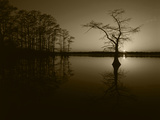 Bald Cypress Trees in Reelfoot Lake  Reelfoot National Wildlife Refuge  Tennessee  USA