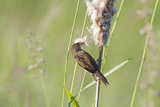 Marsh Wren Gathering Cattail Down  Juanita Bay Wetland  Washington  USA