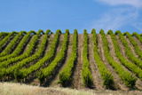 Rolling Vineyards in the Yakima County  Washington  USA