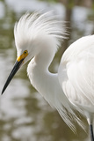 Snowy Egret Bird  Everglades  Florida  USA