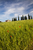 Villa with Wheat Fields  Cypress Trees  Poppies  Pienza  Tuscany  Italy