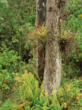View of Air Plants and Wild Boston Ferns  Everglades National Park  Florida  USA
