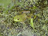 Bullfrog  Female (Rana Catesbeiana)  Juanita Bay Wetland  Washington  USA