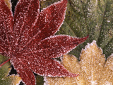 Frosted Maple Leaves  Oregon  USA