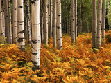 Stand of Quaking Aspen Tree  Gunnison National Forest  Colorado  USA
