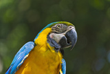Tropical Bird  Parrot  Honduras