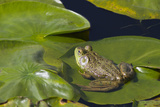 Bullfrog  Male (Rana Catesbeiana)  Juanita Bay Wetland  Washington  USA