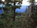 Tree Trunk in Forest  Opal Creek Wilderness  Willamette National Park  Oregon  USA