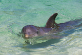 Dolphin in the Ocean, Roatan Island, Honduras Papier Photo par Keren Su