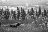 Bull Moose Wildlife  Denali National Park and Preserve  Alaska  USA