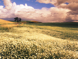 Oxeye Daises  Oak Tree  Palouse  Washington State  USA