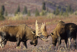 Bull Moose Wildlife  Denali National Park  Alaska  USA