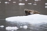 Spotted Harbor Seal on Iceberg  Wrangell St Elias National Park  Alaska  USA