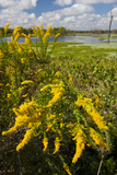 Goldenrod at Edge of Marsh in Brazos Bend State Park Near Houston  Texas  USA