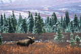 Bull Moose Wildlife  Denali National Park and Preserve  Alaska  USA
