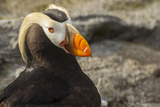 Tufted Puffin Bird  Oregon Coast Aquarium  Newport  Oregon  USA