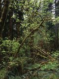 View of Rainforest  Olympic National Park  Washington State  USA