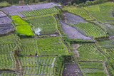 Terraced Vegetable Farm  Banaue  Ifugao Province  Philippines