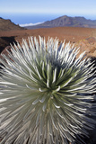 Silversword Flora  Haleakala National Park  Maui  Hawaii  USA