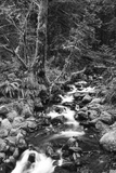 Stream in Rainforest  Olympic National Park  Washington State  USA