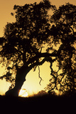 Oak Tree  Sunset  Pinnacles National Monument  California  USA