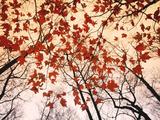Red Maple and Autumn Sky Reproduction d'art par Raymond Gehman