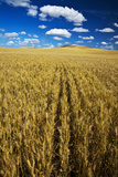 Farm Fields of Golden Harvest Wheat  Palouse Country  Washington  USA